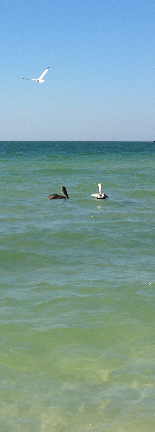 Pelicans fishing for lunch
