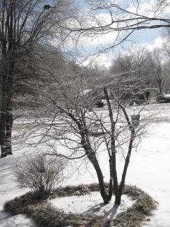 Dogwood In Ice