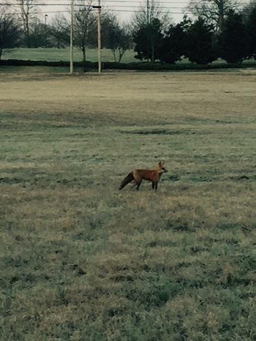Red Fox 2015-03-17 Standing