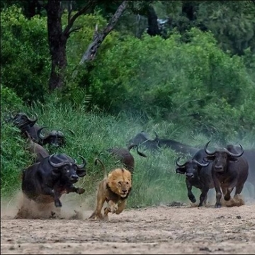 Lion chased by Waterbuffalo